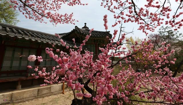 primavera in Corea (wikicommons)